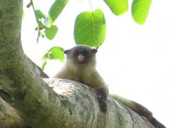 marmoset-01-wildlife-pantanal-tours