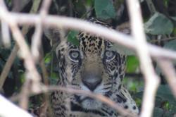 jaguar-29-wildlife-pantanal-tours