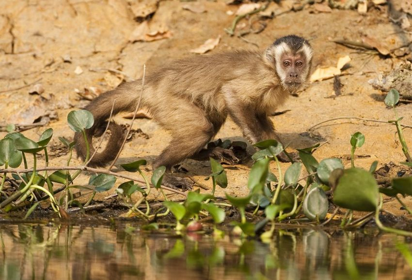 capuchin-monkey-02-wildlife-pantanal-tours