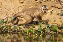 capuchin-monkey-02-wildlife-pantanal-tours