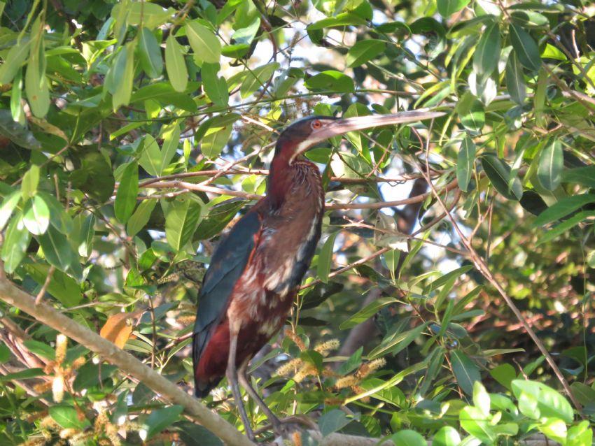 bird-agami-hero-01-wildlife-pantanal-tours