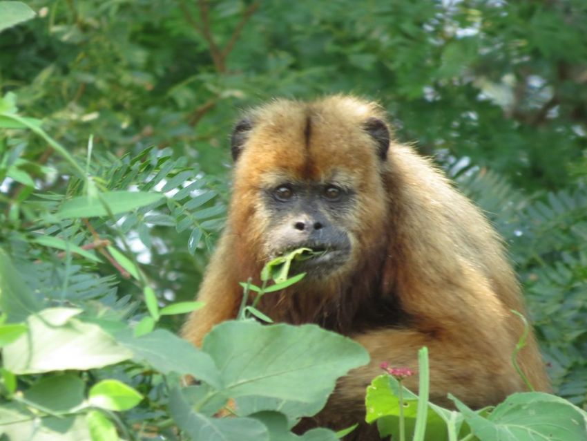 howler-monkey-02-wildlife-pantanal-tours