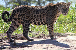 jaguar-09-wildlife-pantanal-tours