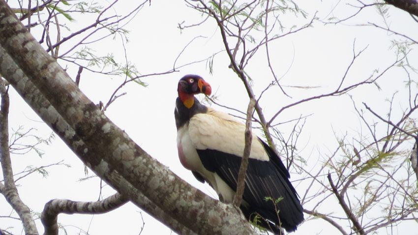 bird-king-vulture-01-wildlife-pantanal-tours