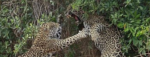 Jaguar - Panthera onca - Wildlife Pantanal Tours