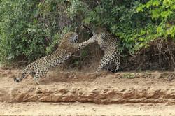 jaguar-06-wildlife-pantanal-tours