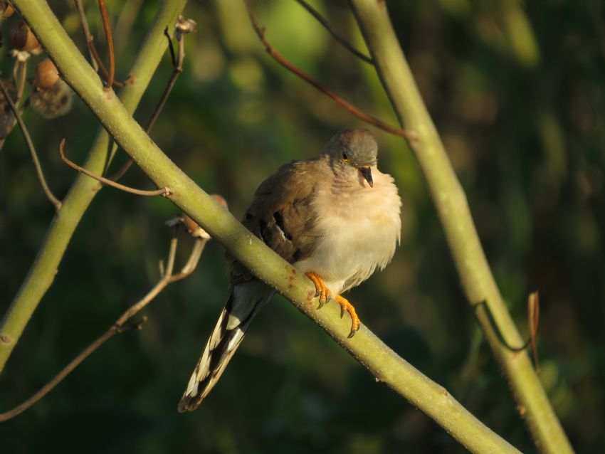 bird-lng-tailed-ground-dove-01-wildlife-pantanal-tours