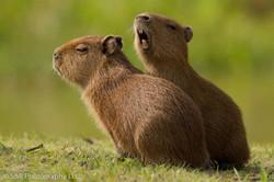 capibara-01-wildlife-pantanal-tours