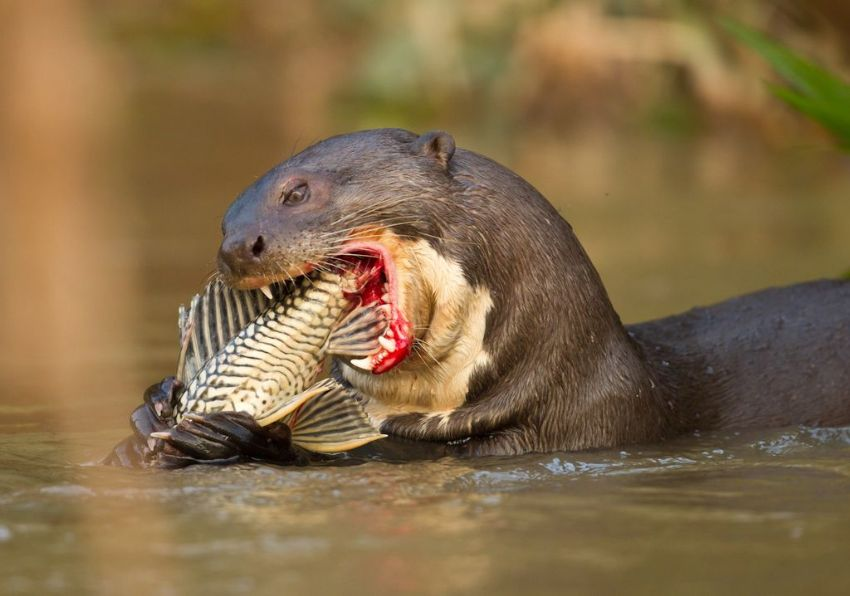 giant-otter-05-wildlife-pantanal-tours