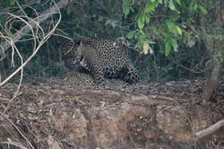jaguar-30-wildlife-pantanal-tours