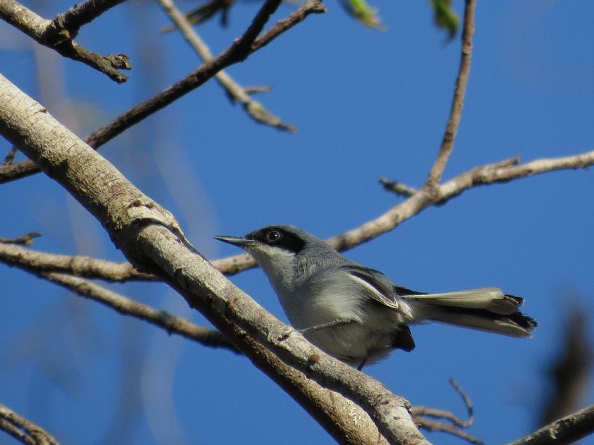 bird-masked-gnatcatcher-01-wildlife-pantanal-tours