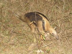 southern-tamandua-01-wildlife-pantanal-tours