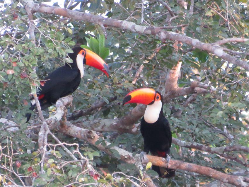 bird-toco-toucan-01-wildlife-pantanal-tours