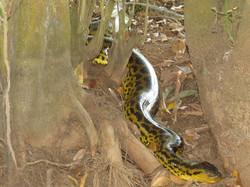 anaconda-01-wildlife-pantanal-tours
