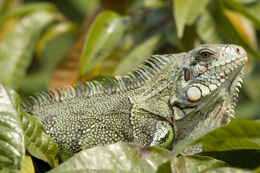 iguana-01-wildlife-pantanal-tours