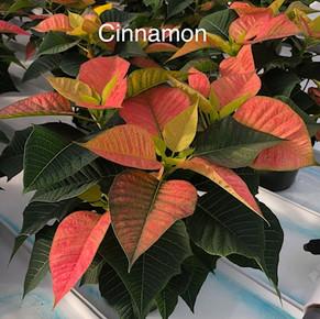 Cinnamon Poinsettia