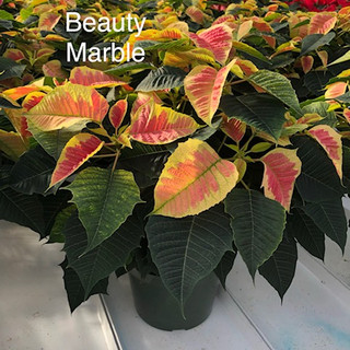 Beauty Marble Poinsettia