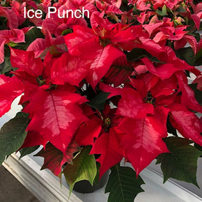 Ice Punch Poinsettia