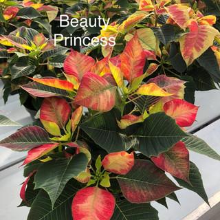 Beauty Princess Poinsettia