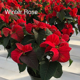 Winter Rose Poinsettia