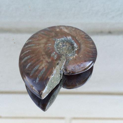 Conch Ammonite fossil