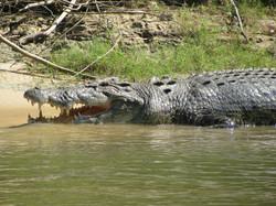 Aussie Croc