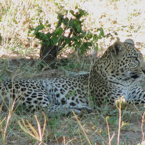 We went on a lion hunt and found a leopard!