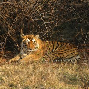 Tiger Safari in Palpur-Kuno, India