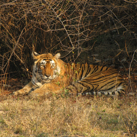 Tiger Safari in Palpur-Kuno, India
