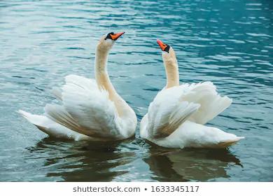 Swan lake w technique foundation