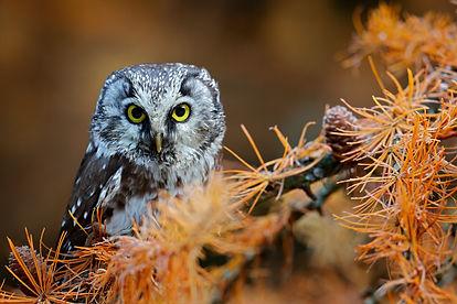 Owl hidden in the yellow orange larch tr