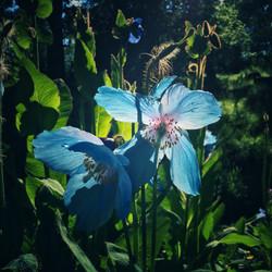 Spring Mecanopsis