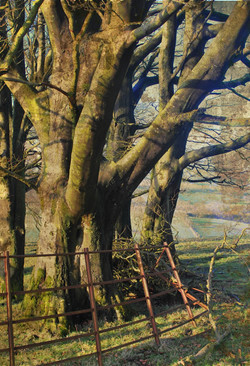 Cwm Sanaham Beech Trees