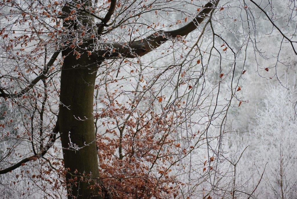 A Graceful Beech, Snowdonia