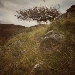 Windblasted Oak above Barmouth