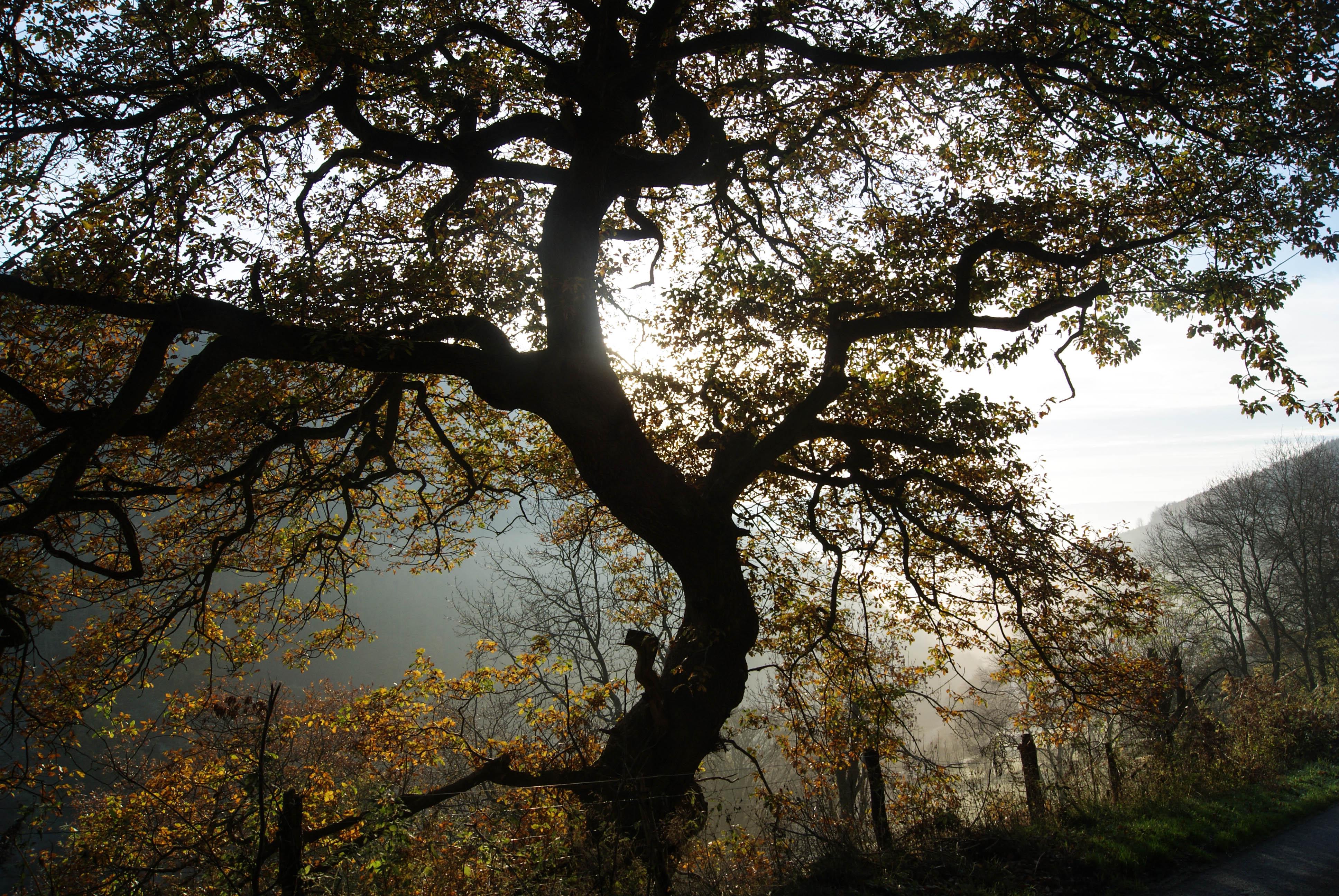 Misty Oak, Pentredwr