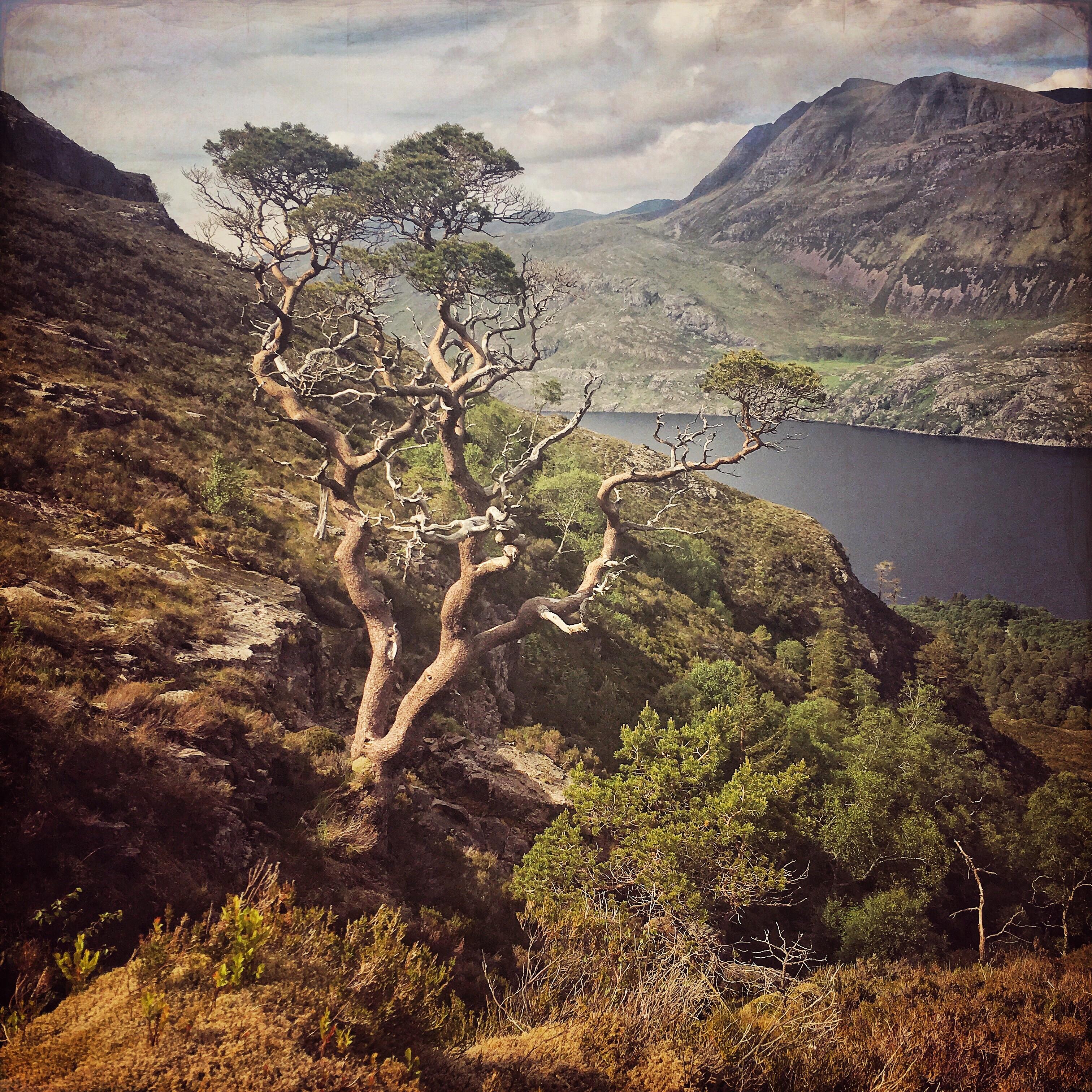 Scots Pine, Ben Eighe