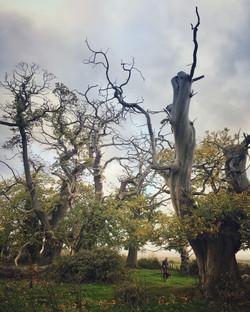 Ancient Chestnuts at Croft Castle