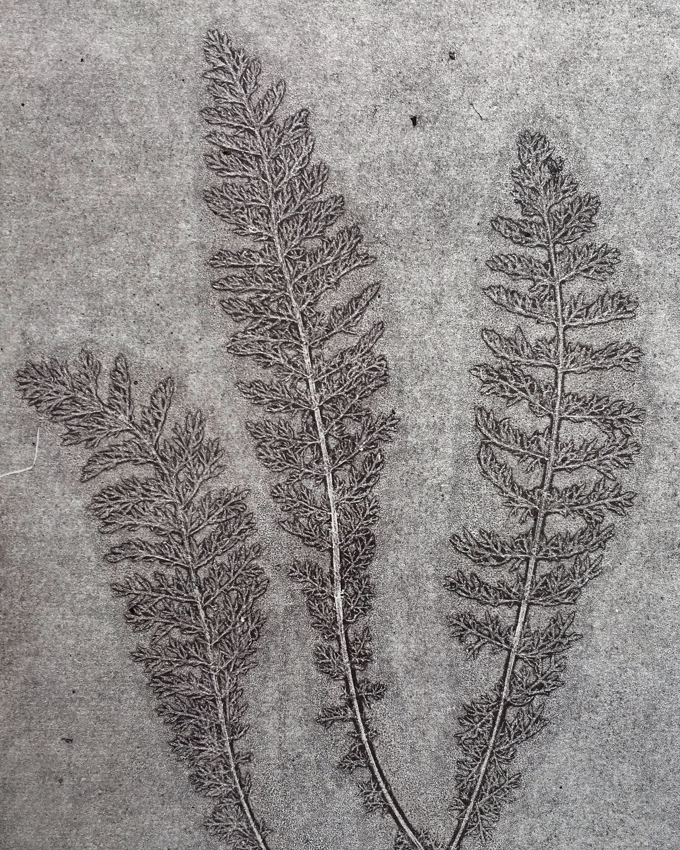 Silverweed Monoprint