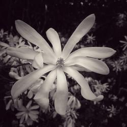 Magnolia Star