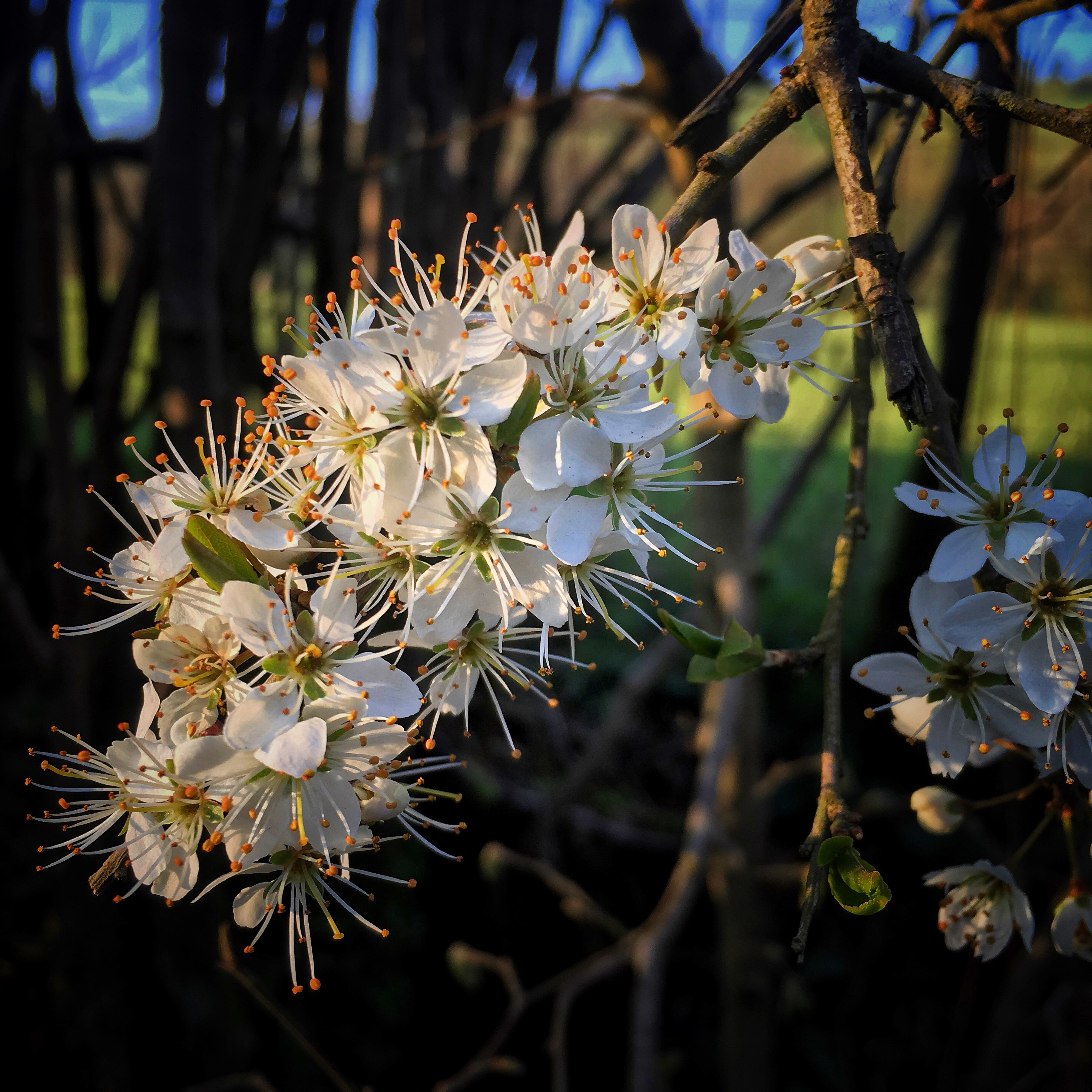 Sprig of Blackthorn Blossom