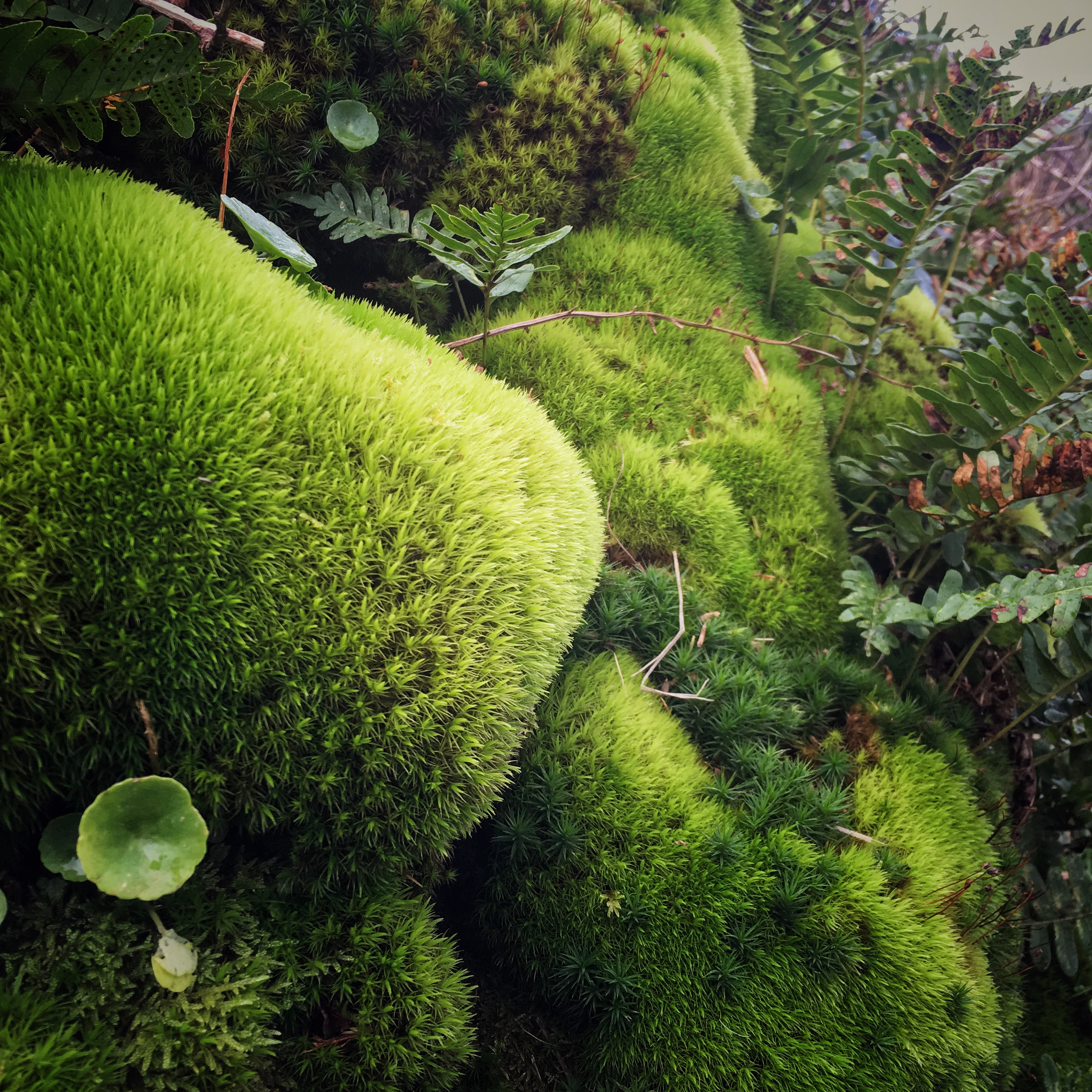 Mossy Boulders and Pennywort