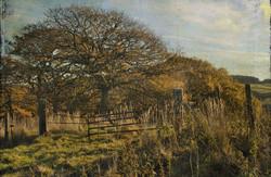 nov 13 oaks in sunlight