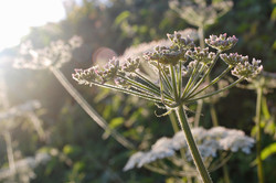 Umbellifer on the Laneside