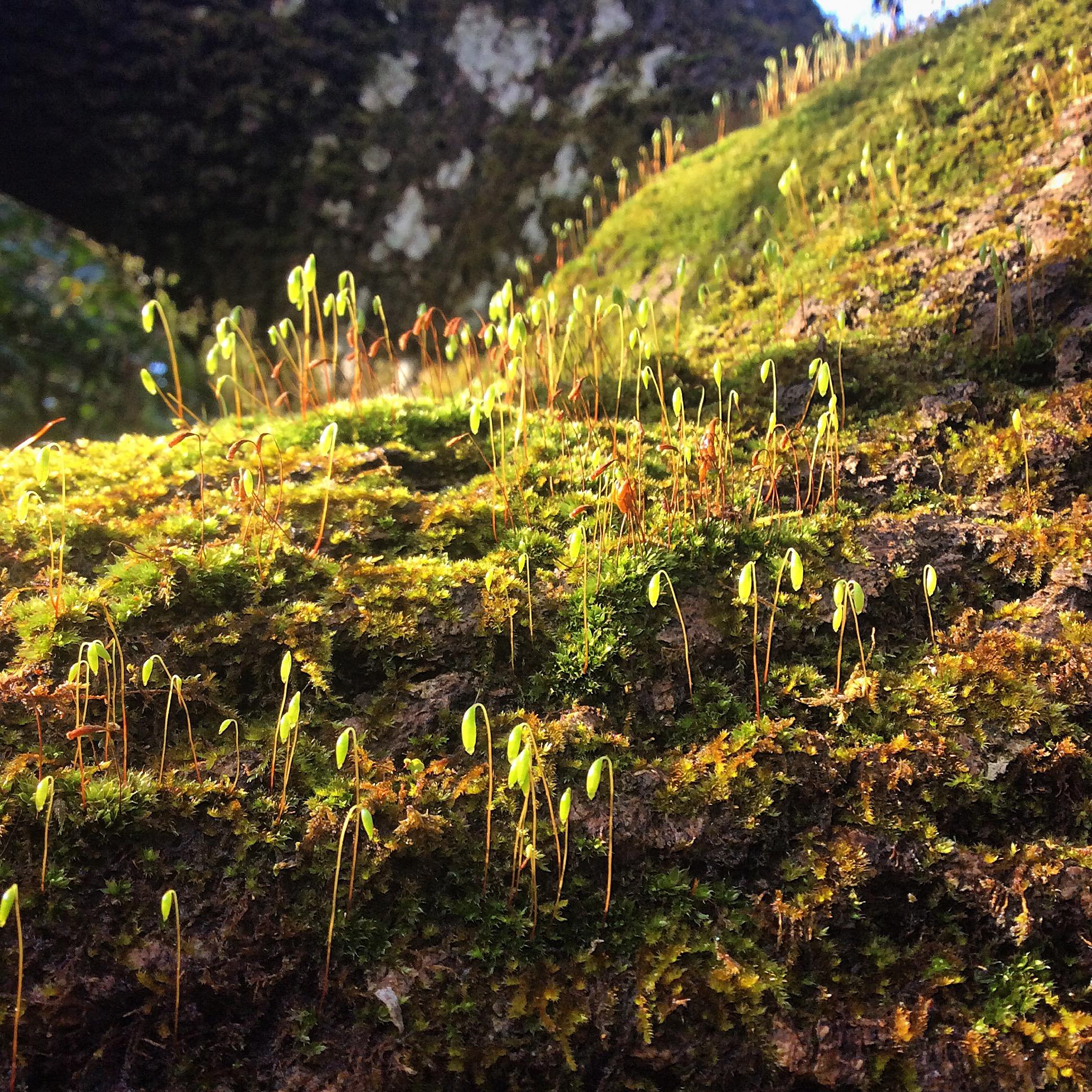 Moss colony on Ash Tree