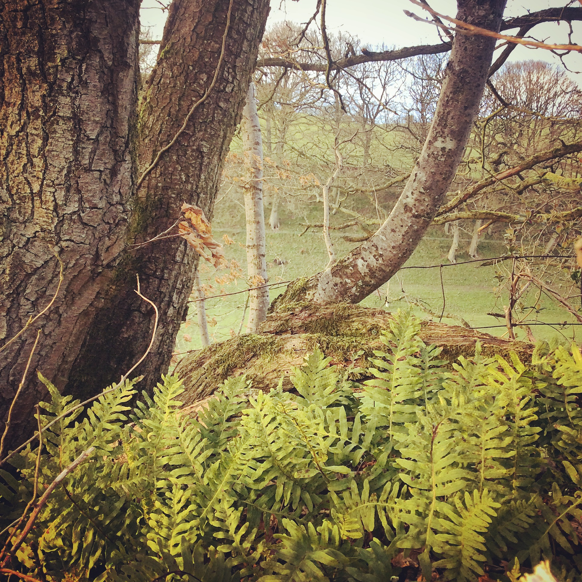 Oak and Ferns in Spring