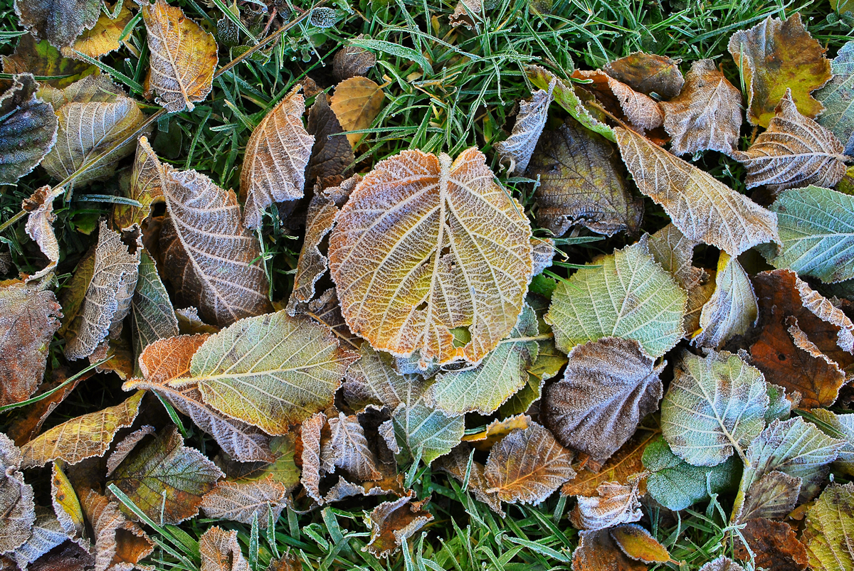 Frosted Autumn Leaves