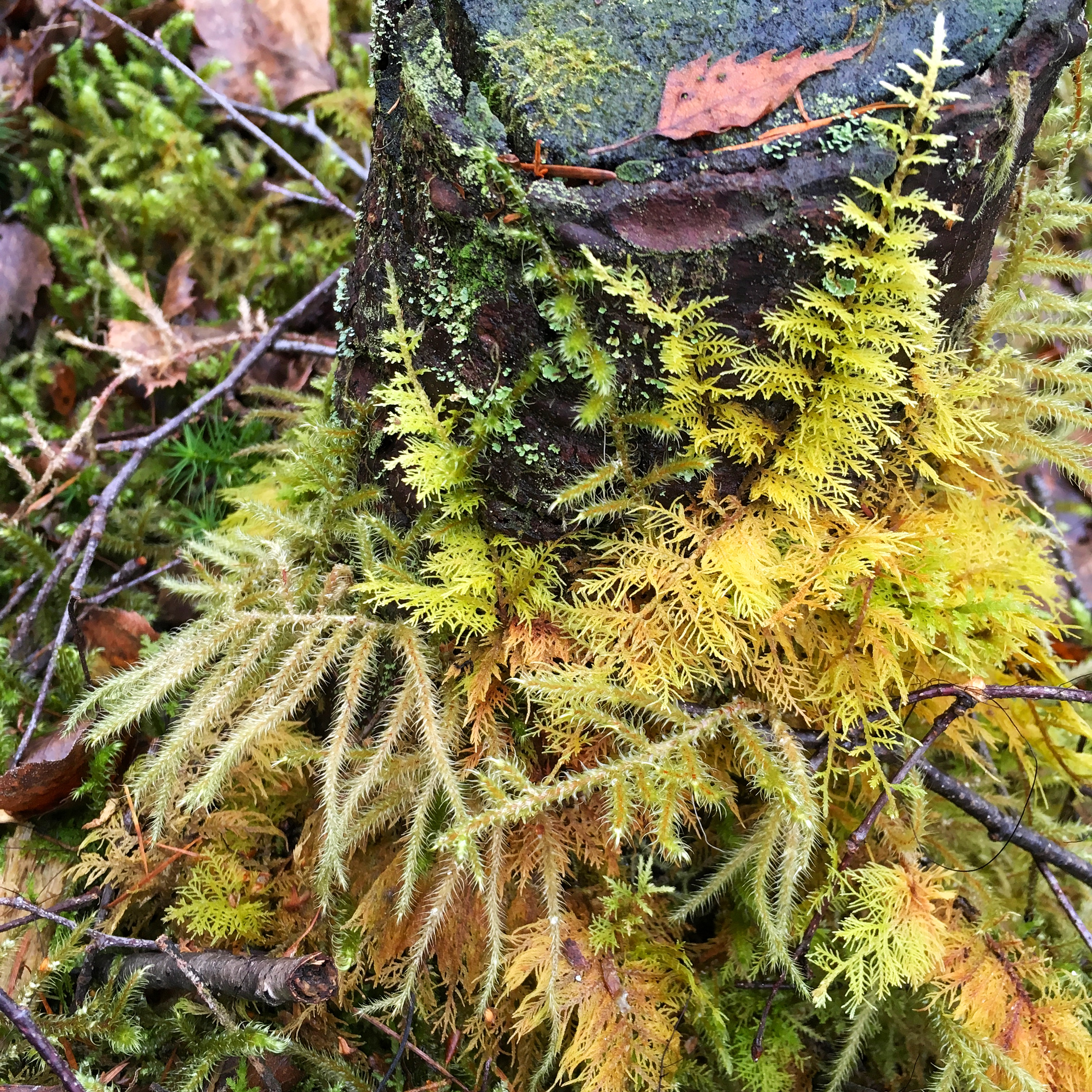 Mosses & lichen on ancient Oaks