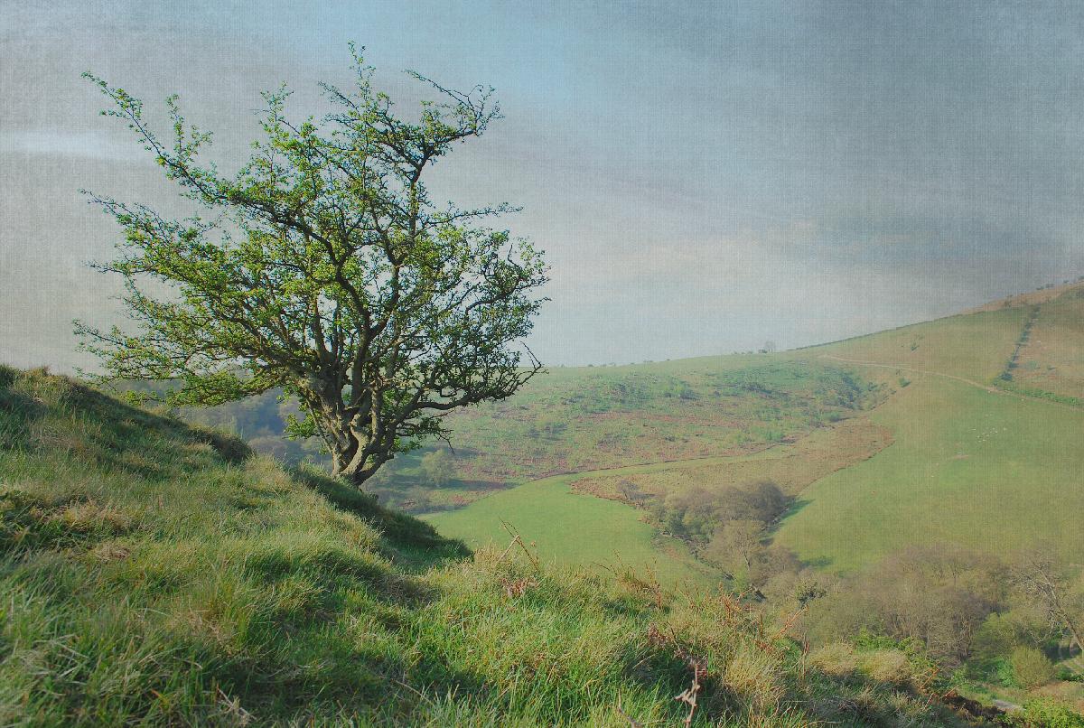 Hawthorn on the Tump
