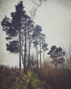A Line of Pines, near Westhope